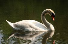 Free Swan By The Lake Royalty Free Stock Images - 1564729