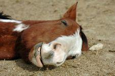 Free Horse Sleeping Stock Images - 1564994