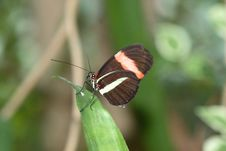 Free The Longwing Butterfly Royalty Free Stock Photography - 1565147