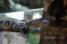 Free Captive Baby Alligator Stock Images - 1565404