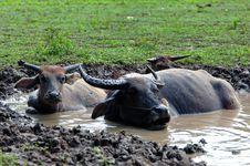 Free Buffalos Royalty Free Stock Photos - 1565538