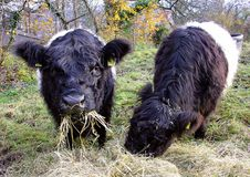 Galloway Cow 6 Royalty Free Stock Images