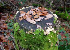 Free Autumn Stump 1 Royalty Free Stock Photos - 1567778