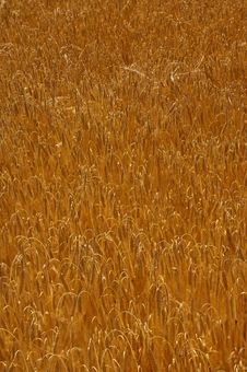 Free Cornfield Royalty Free Stock Photography - 1568267