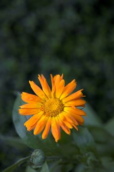 Free Orange Flower Stock Photography - 1568462