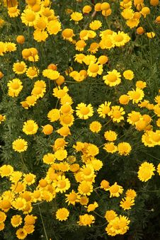 Free Yellow Flower Field Stock Photography - 1568782