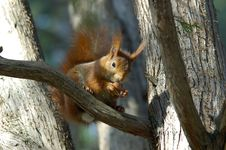Free Squirrel Royalty Free Stock Image - 1569236