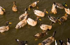 Free Group Of Ducks Royalty Free Stock Photo - 1569495