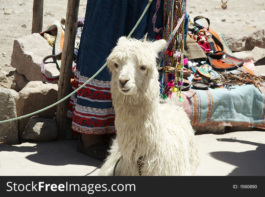 Reruvian alpaca
