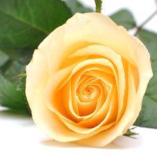 Free Closeup Yellow Rose Royalty Free Stock Photo - 15601175