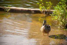 Free Duck Stock Photo - 15602820