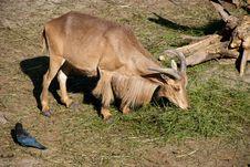 Free Goat Stock Photography - 15602852