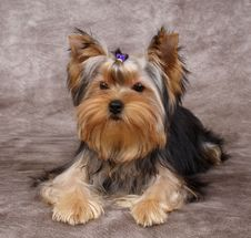 Free Puppy Of The Yorkshire Terrier Stock Images - 15603024