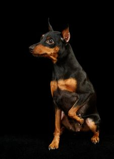 Free Black Miniature Pinscher Royalty Free Stock Images - 15603049