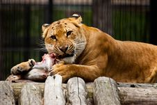 Free Lion Lunch Royalty Free Stock Photos - 15603218