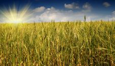 Free Golden, Ripe Wheat Against Blue Sky Background. Stock Photo - 15604040