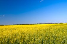 Free Wonderful  Golden Rapeseed Field. Stock Image - 15604291