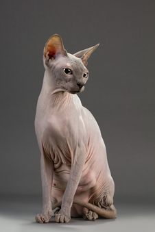 Free Sphynx Royalty Free Stock Photography - 15604417