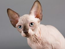 Free Sphynx Royalty Free Stock Photography - 15604527