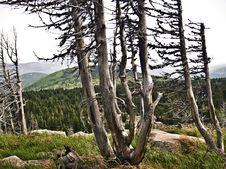 Free Dead Trees Royalty Free Stock Photography - 15604787