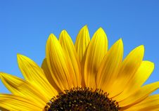 Free Blooming Sunflower Stock Photography - 15604862
