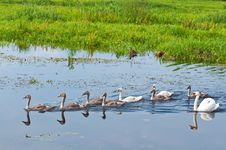 Free Swans Family In Water Royalty Free Stock Photo - 15605075
