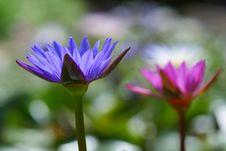 Free Purple Lotus Royalty Free Stock Images - 15605479