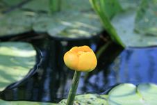 Free Yellow Waterlily Royalty Free Stock Images - 15605539