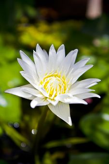 Free Thai White Lotus Stock Images - 15605834