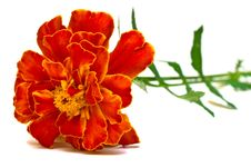 Free Beautiful Carnation Royalty Free Stock Image - 15605846