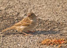 Free Female Sparrow Royalty Free Stock Photo - 15606345