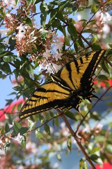 Free Swallowtail Butterfly Stock Photos - 15606543