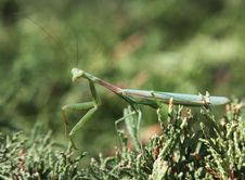 Free Praying Mantis Royalty Free Stock Photo - 15606575
