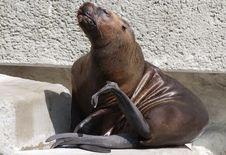 South American Sea Lion Royalty Free Stock Photo