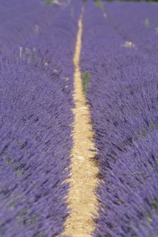 Free Lavender Field Stock Image - 15606871