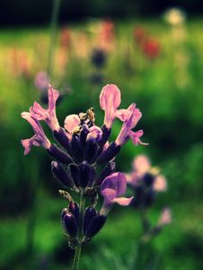 Free Lavender Stock Photography - 15608752