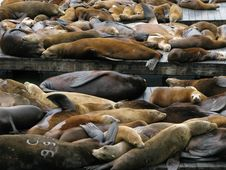 Sea Lions Stock Images