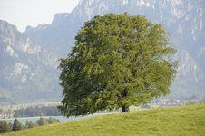 Single Beech Tree Stock Photography