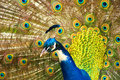 Free Peacock Royalty Free Stock Photography - 15613517