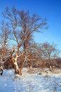 Free Big Oak Stock Image - 15613661