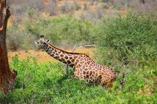 Free Giraffe In Its Natural Habitat Royalty Free Stock Images - 15610319