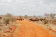 Free Herd Of Buffalos Crossing A Route In Kenya Royalty Free Stock Photo - 15610345