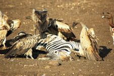 Vultures Fighting For Place To Eat Dead Zebra Stock Photography