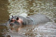Free Hippopotamus Swimming In River Royalty Free Stock Photo - 15610675
