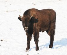Baby Bison Standing In Snow Royalty Free Stock Photos