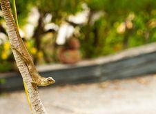 Free Chameleon Stock Image - 15611951