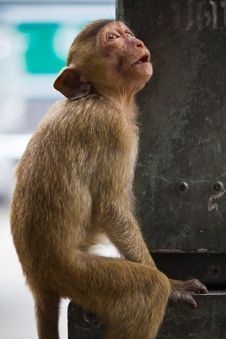 Free Monkey Royalty Free Stock Photo - 15613395