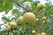 Free Apple On Branch Stock Photography - 15613642