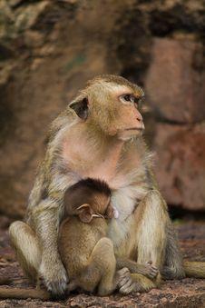 Free Monkey Stock Photo - 15613730