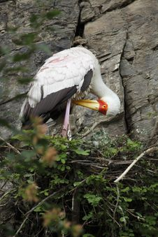 Free Yellow-billed Stork In The Nest Royalty Free Stock Photos - 15613868